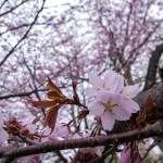 OHT_hokkaidounosakura_TP_V